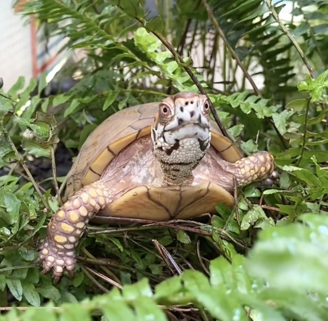 box turtle climbs in fern