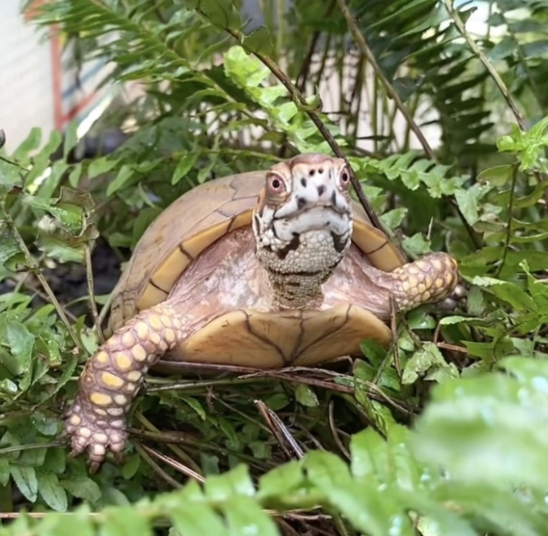 box turtle climbs in fern