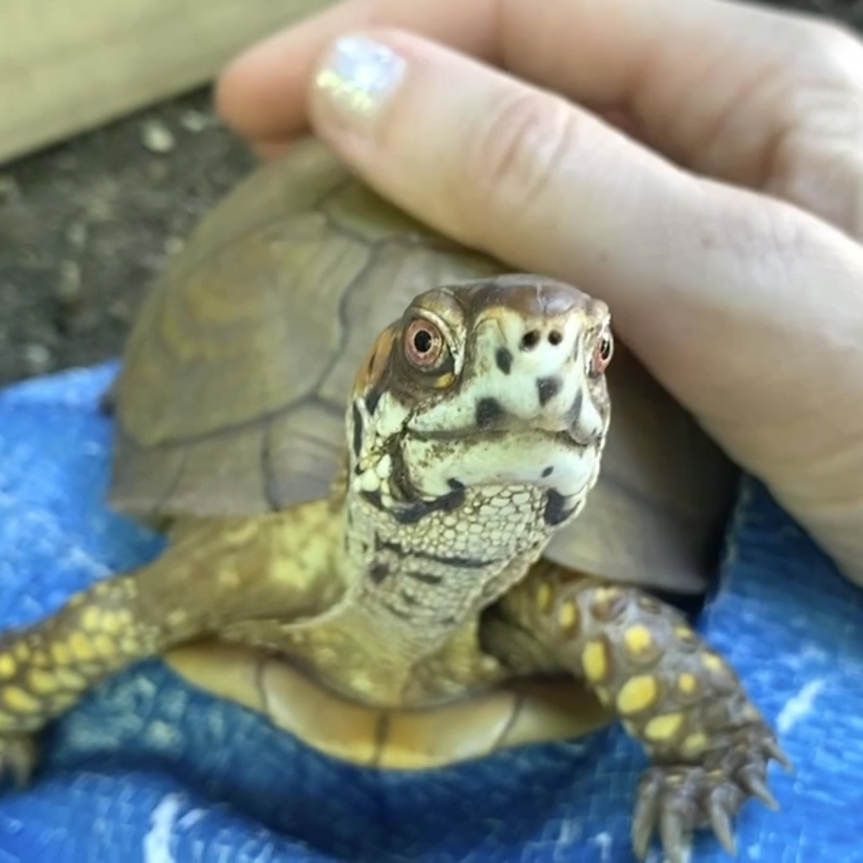 box turtle gets shell pats