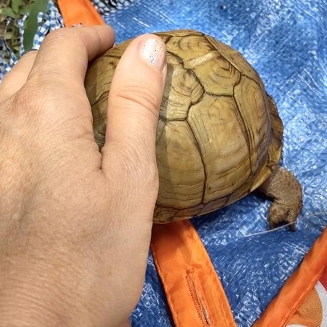box turtle hiding