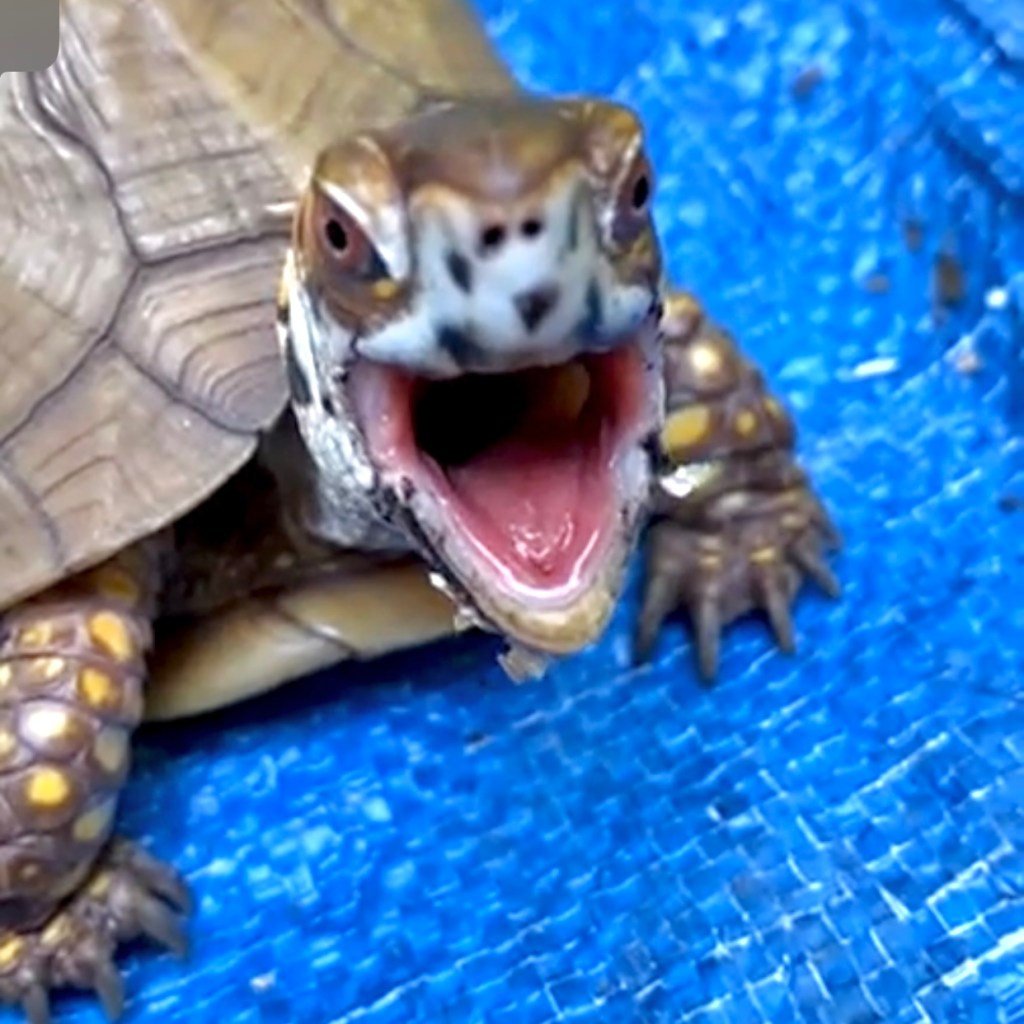 box turtle yawn