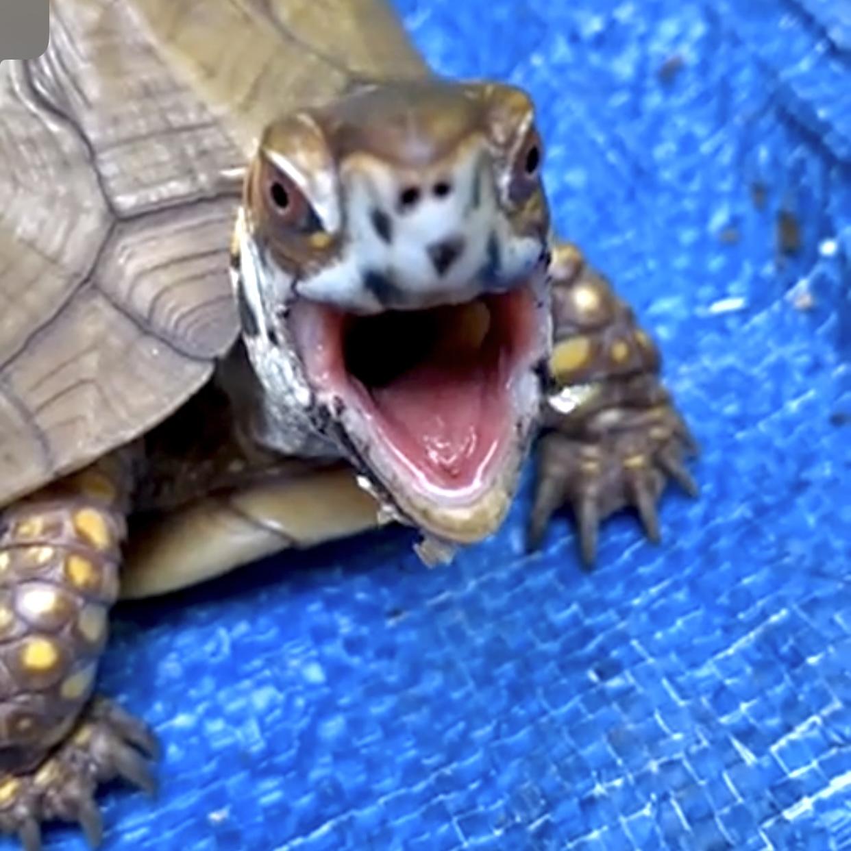 box turtle yawn