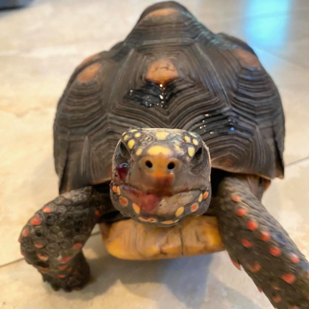 tortoise eating blueberries
