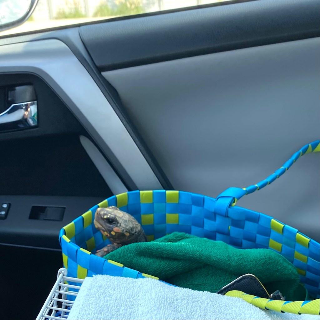 tortoise in car carrier