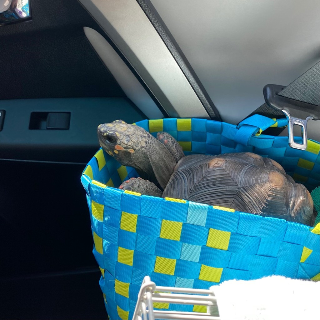 redfoot tortoise in carrier