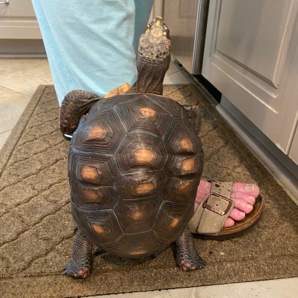 redfoot tortoise stands on hind legs