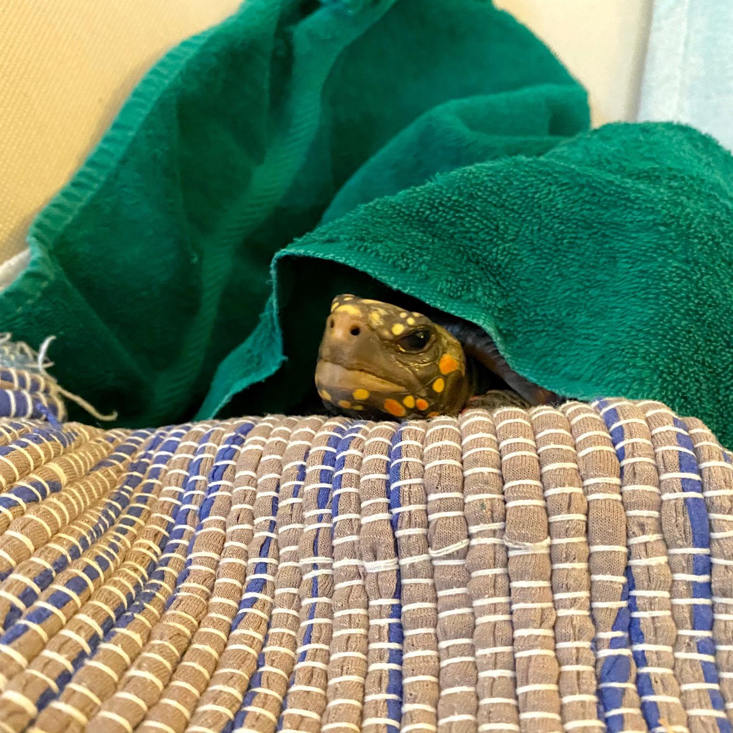 pet tortoise resting