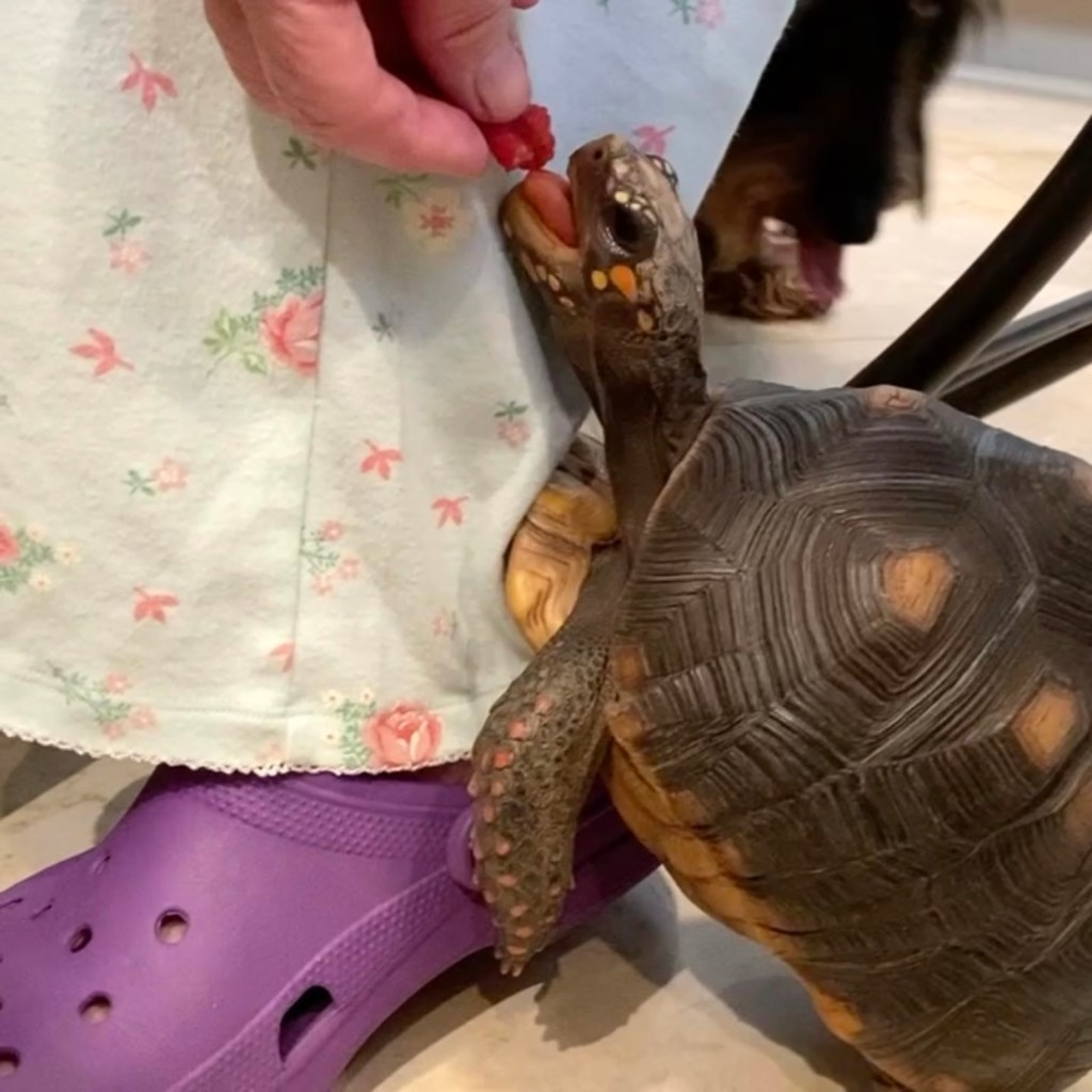 redfoot tortoise eats a raspberry