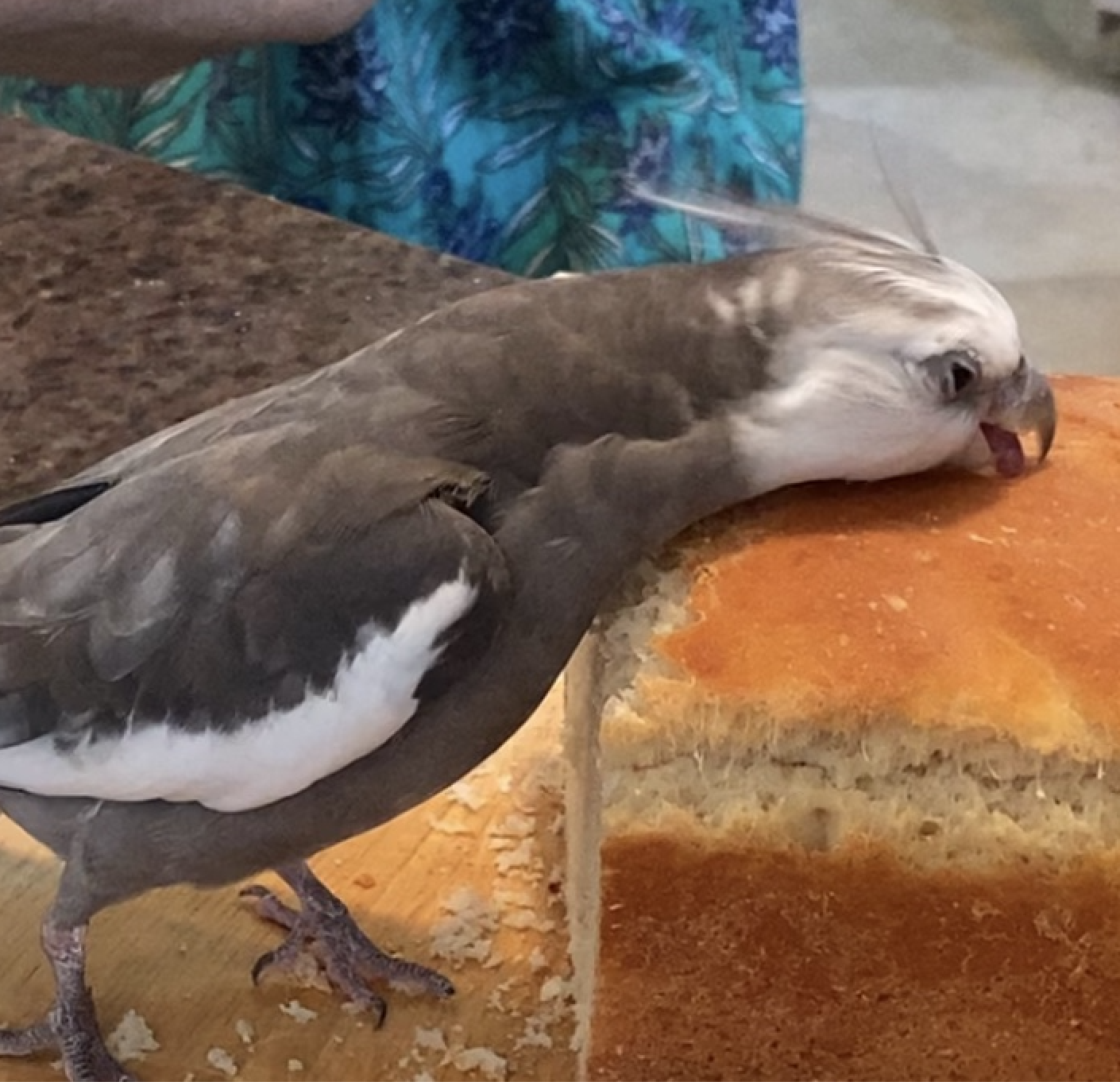 cockatiel eats bread