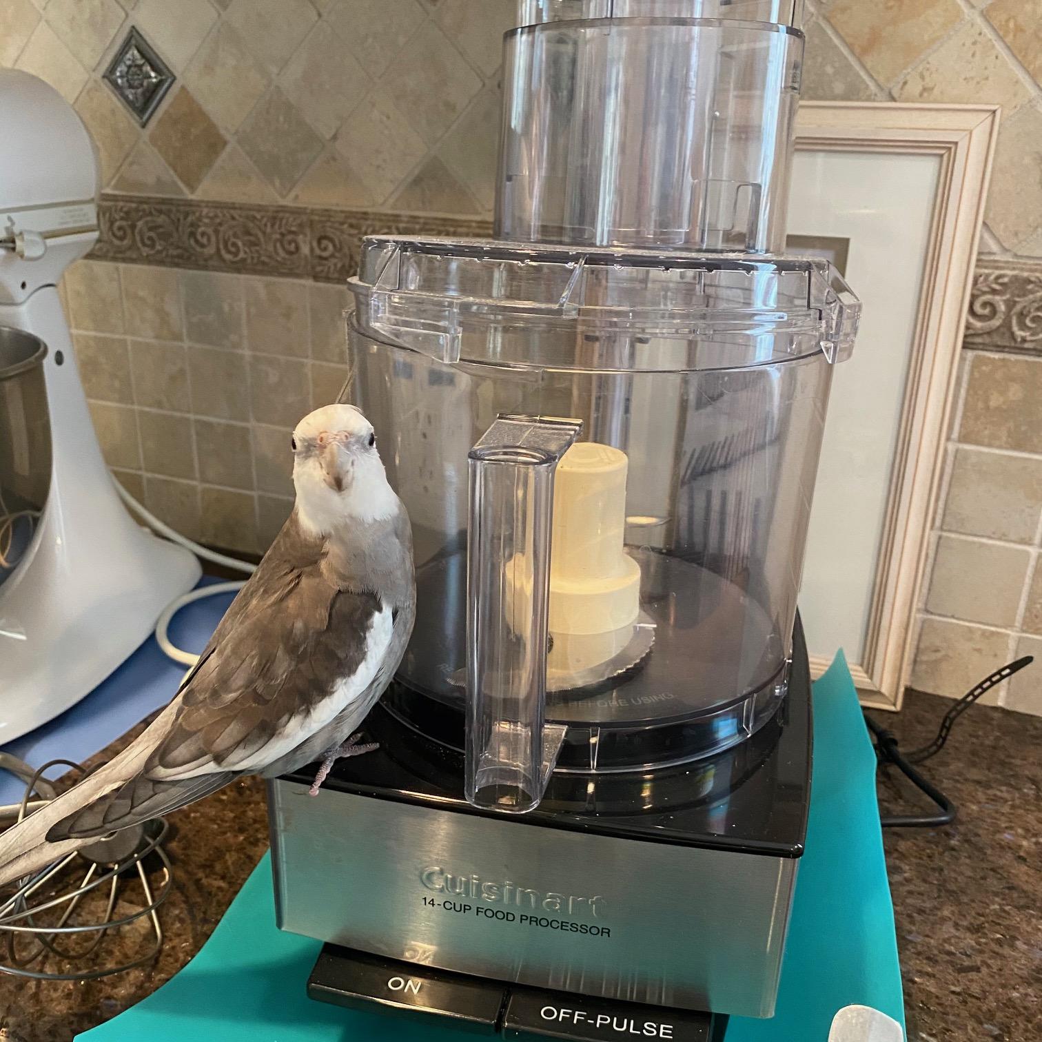 cockatiel sits on cuisinart