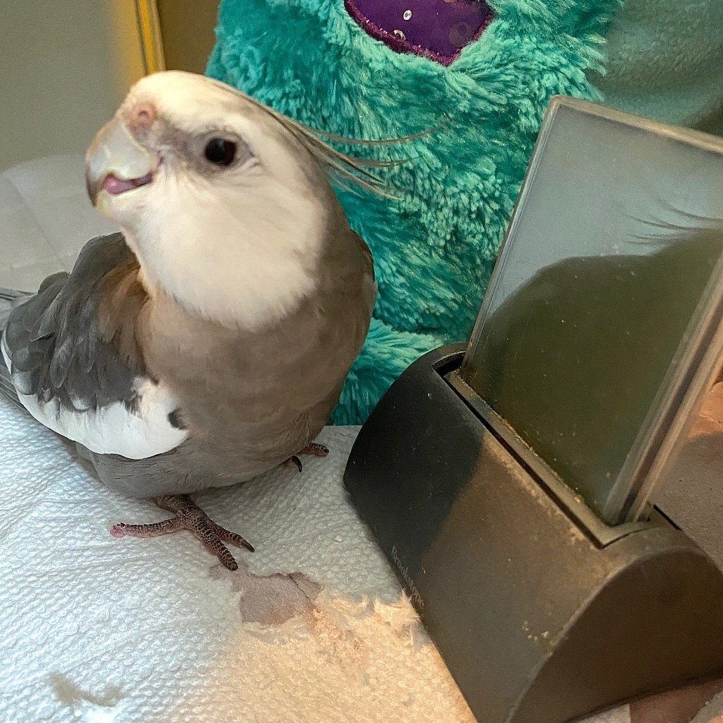cute cockatiel