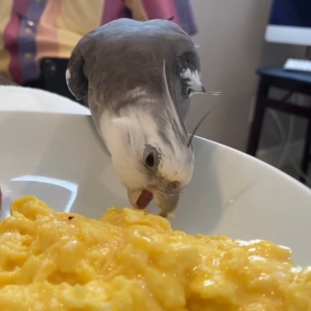 cute cockatiel eats scrambled eggs