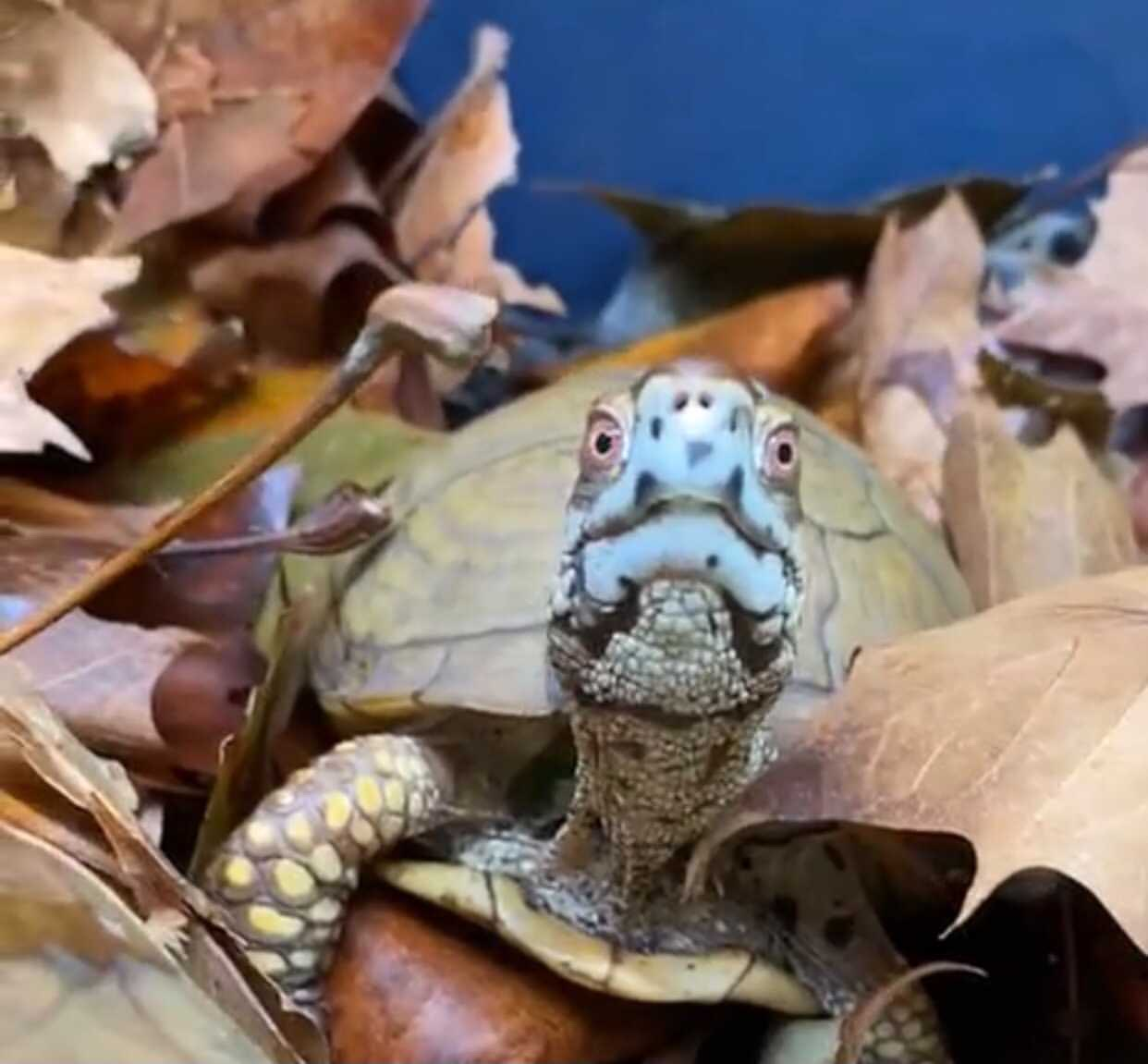 box turtle in fall maple leaves