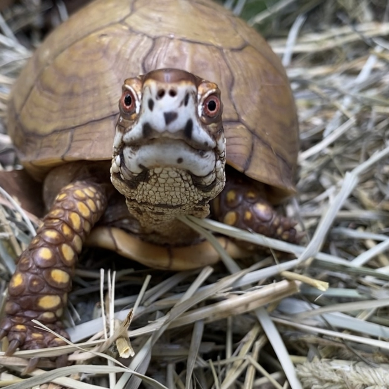 box turtle sitting on hay