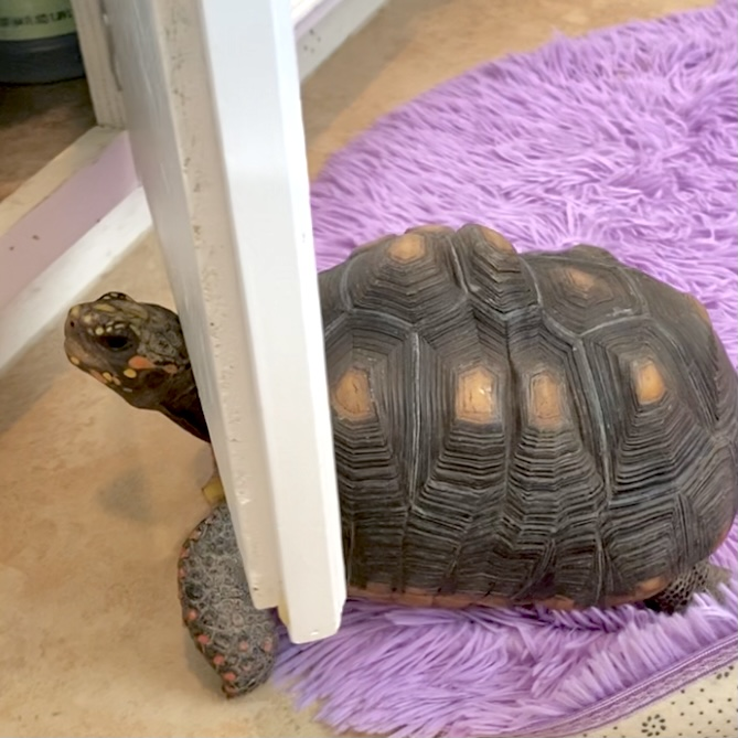 redfoot tortoise stuck in cabinet door