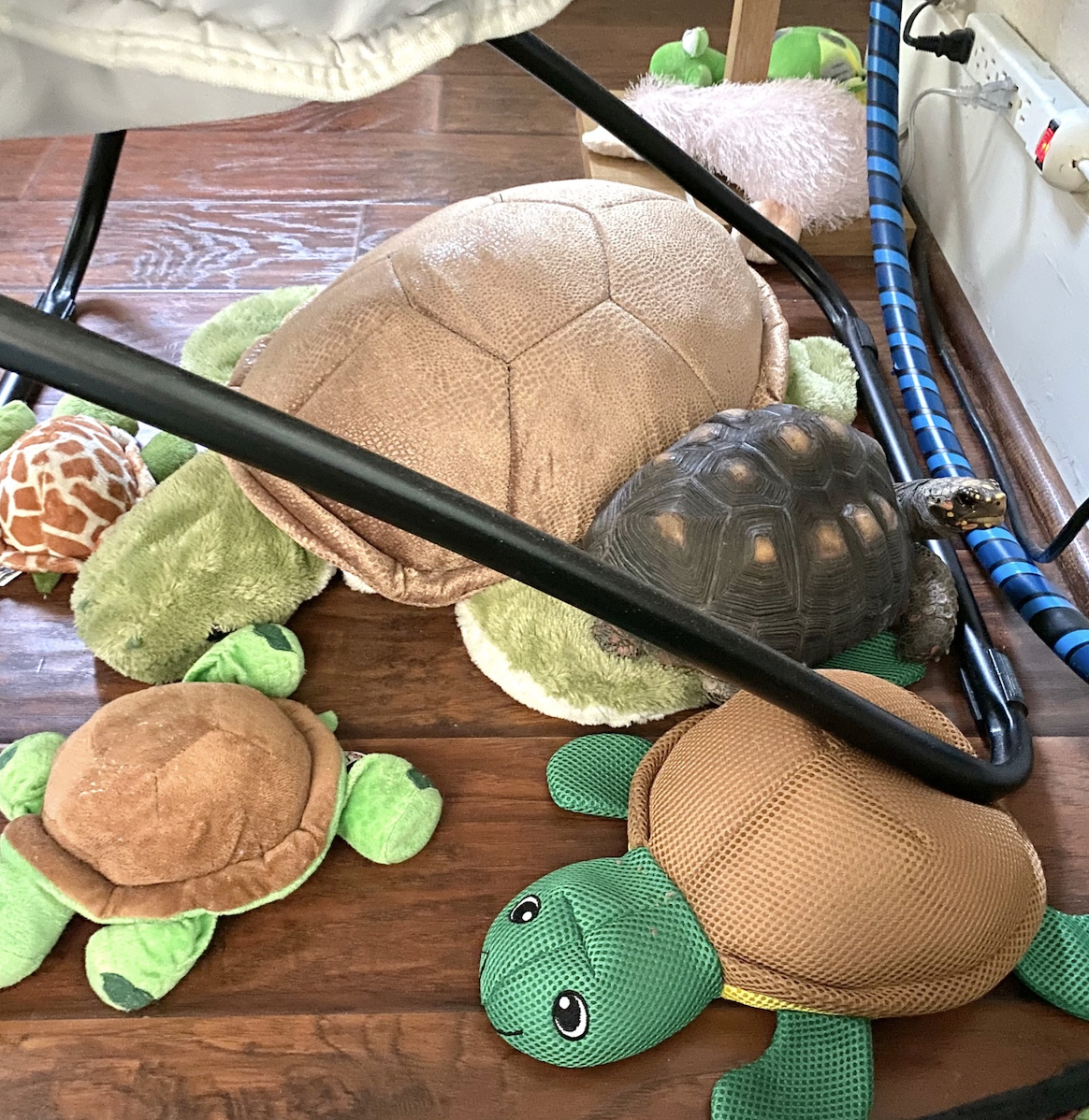 redfoot tortoise with toy tortoises