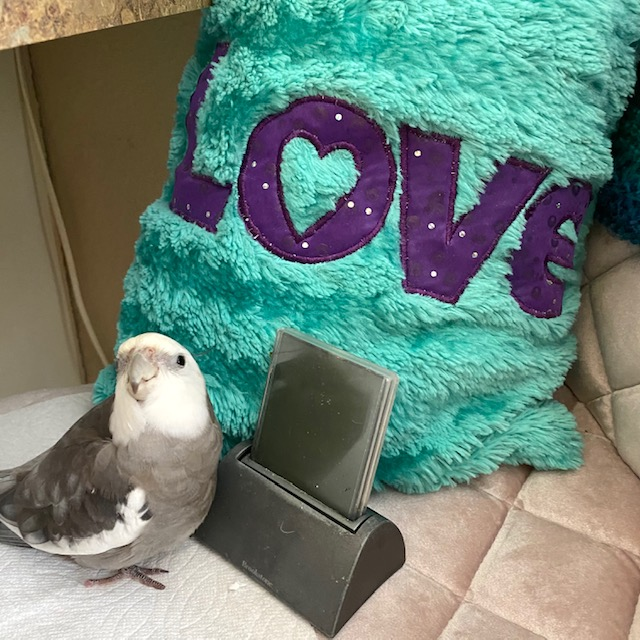 cockatiel poses with love pillow