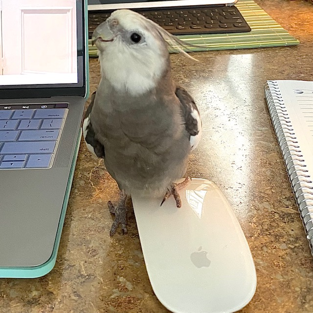 cockatiel stands on apple mouse