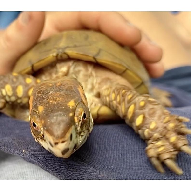box turtle climbing