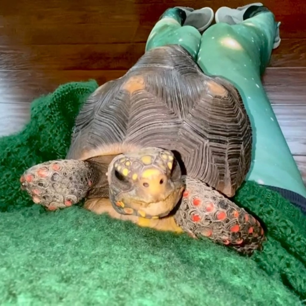 redfoot tortoise cuddles with person