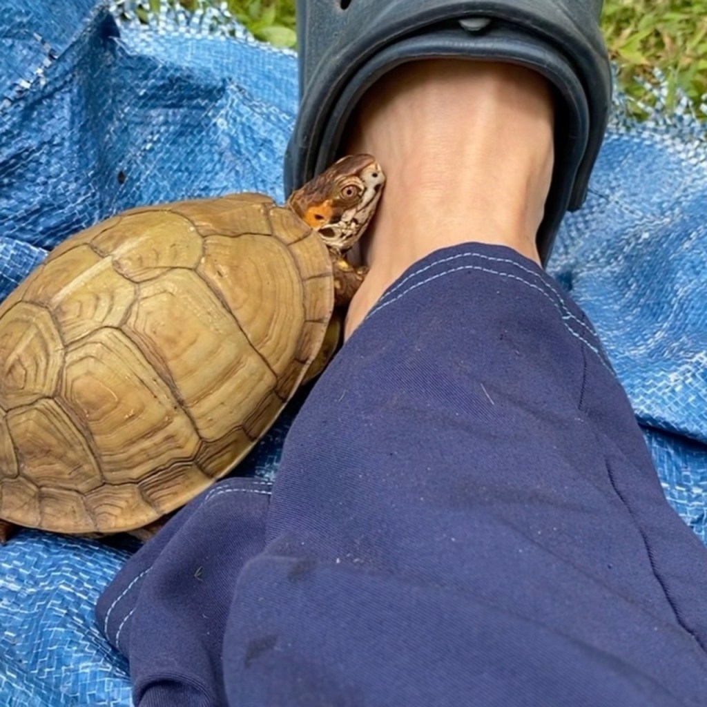 box turtle cuddles with Croc sandal