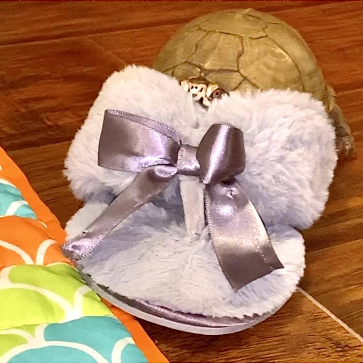 box turtle sits in slipper