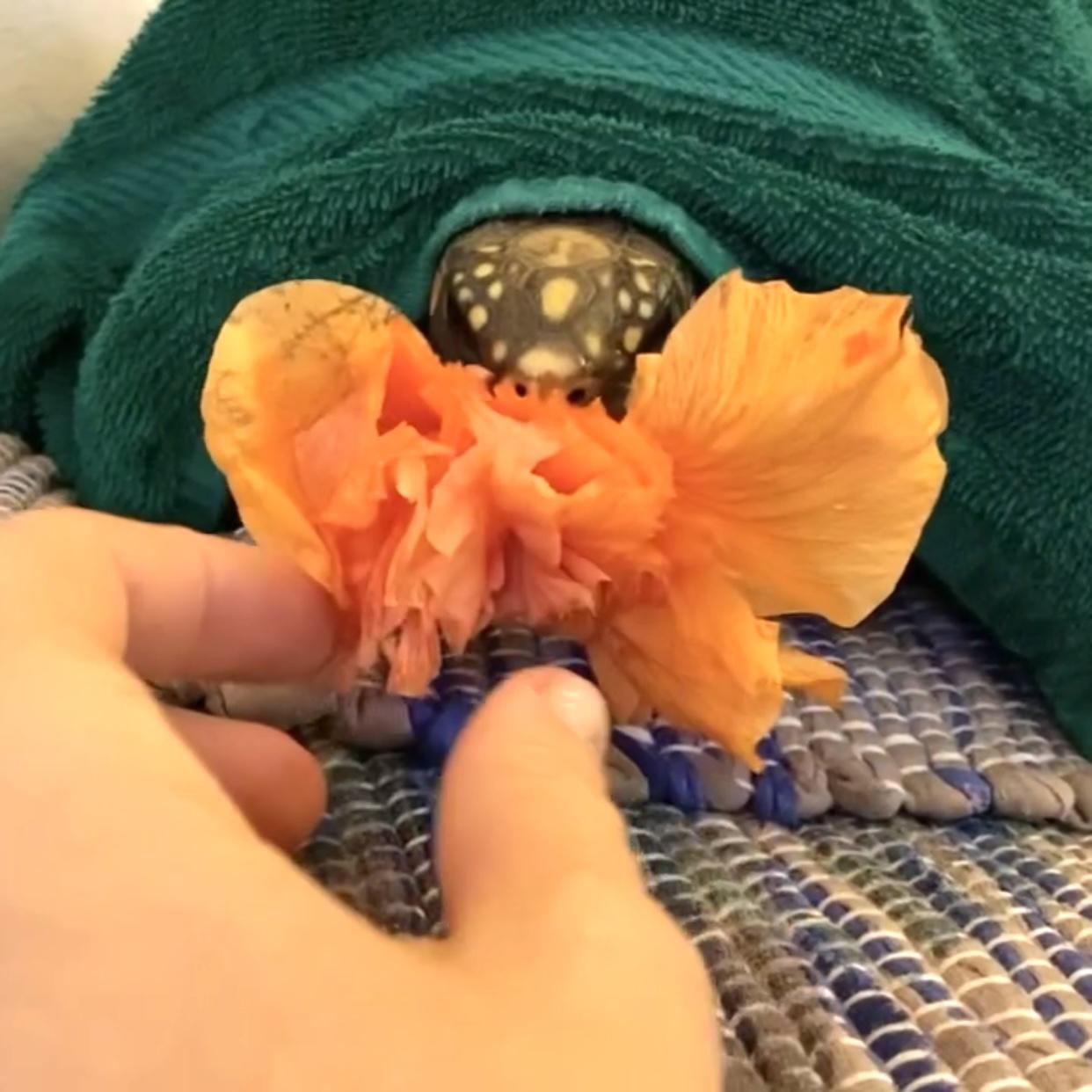 tortoise eats hibiscus
