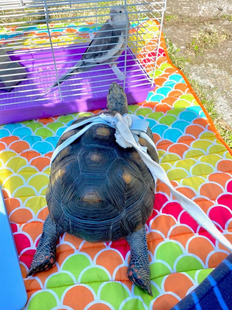 redfoot tortoise basking