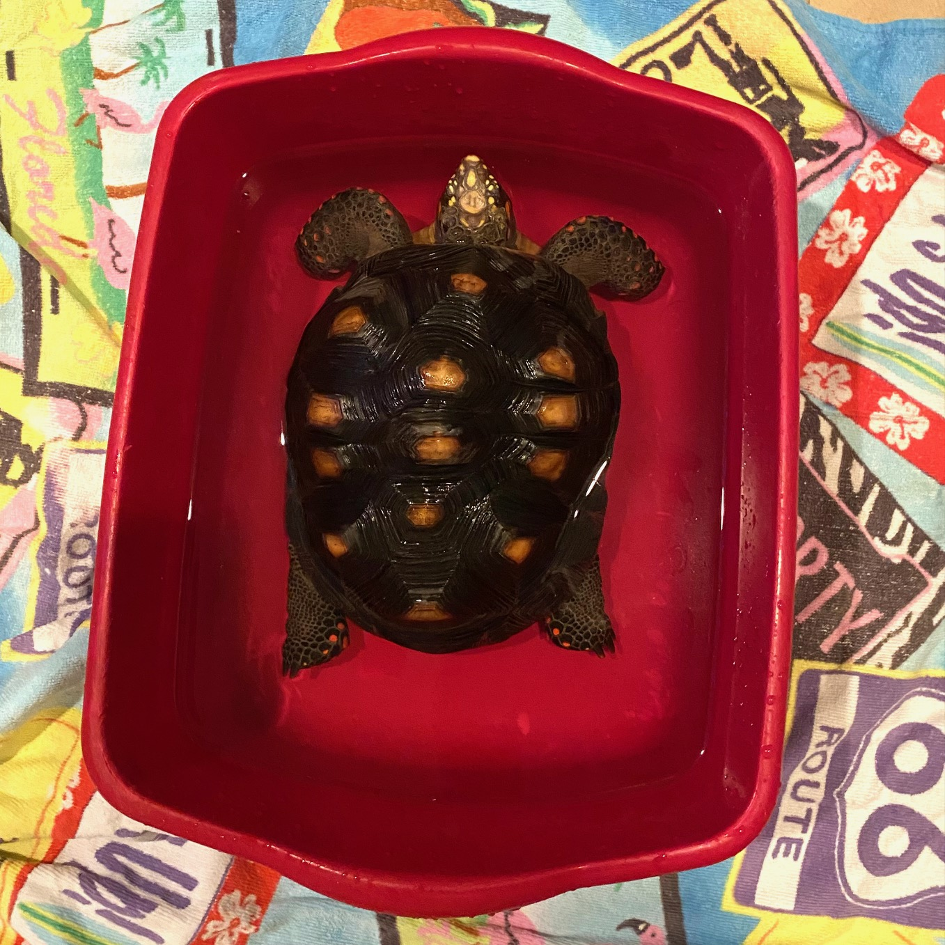 redfoot tortoise in bathing tub
