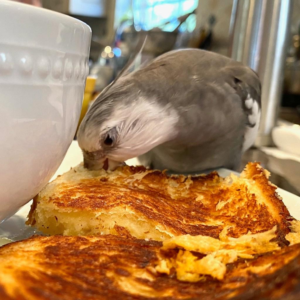 cockatiel eats grilled cheese sandwich