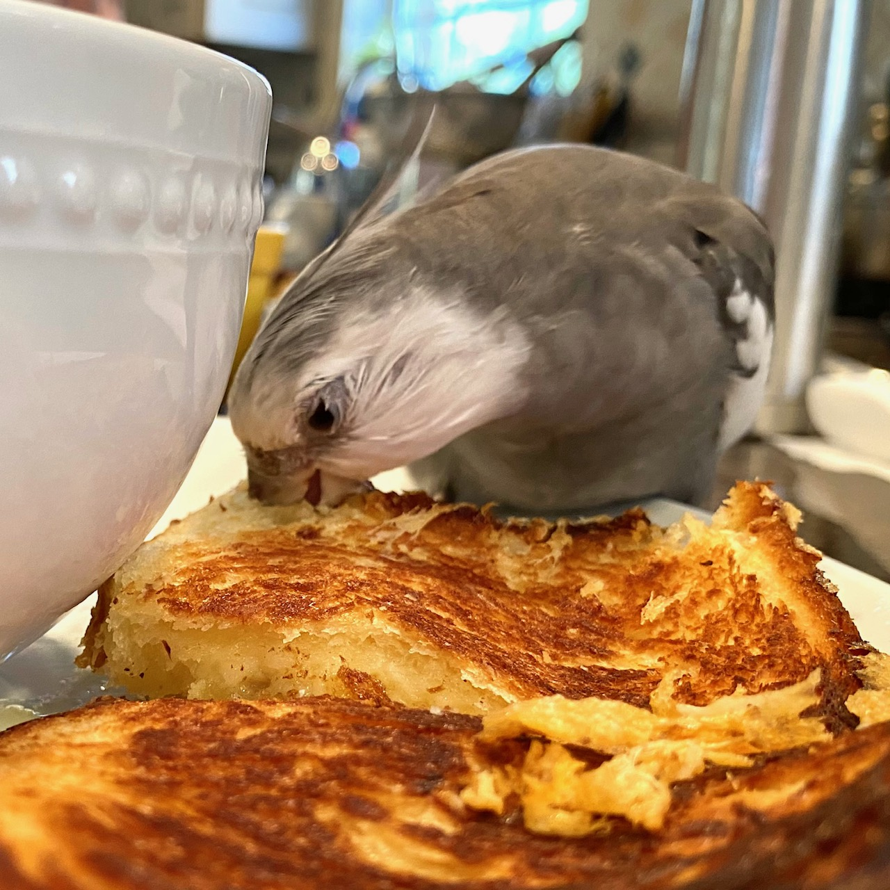 cockatiel eats grilled cheese sandwich