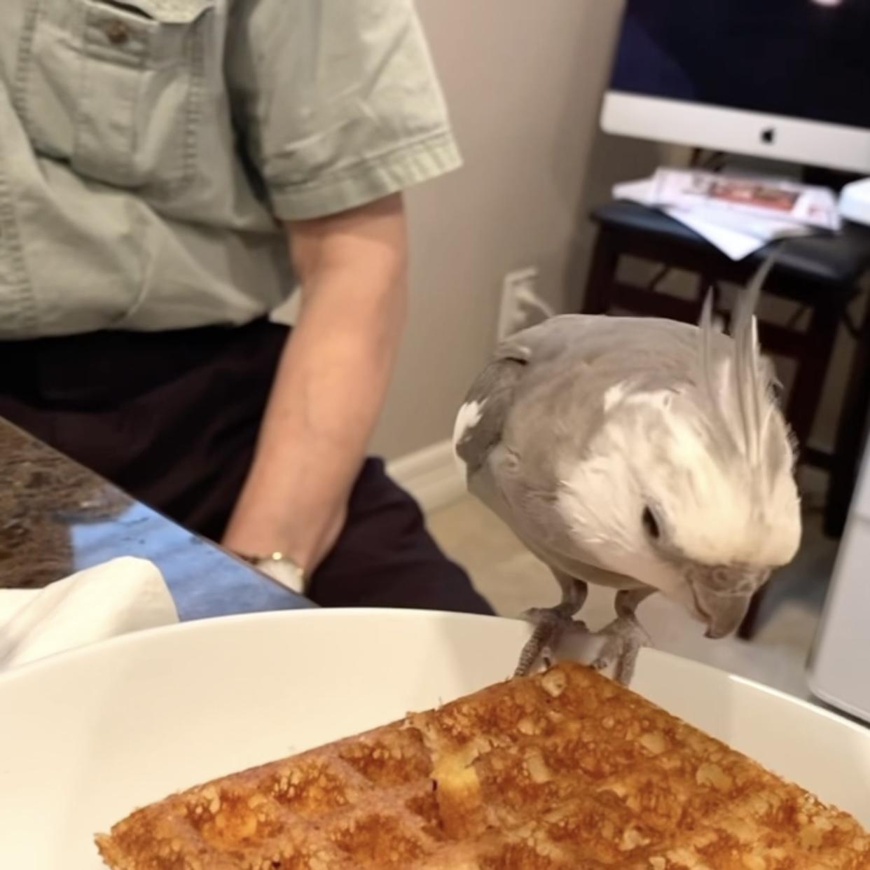 cockatiel eats waffle