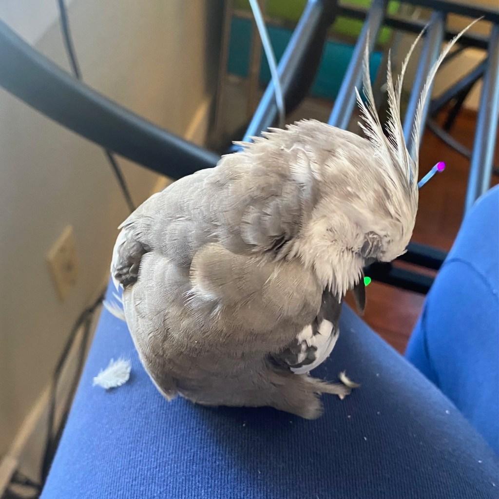 cute cockatiel preening