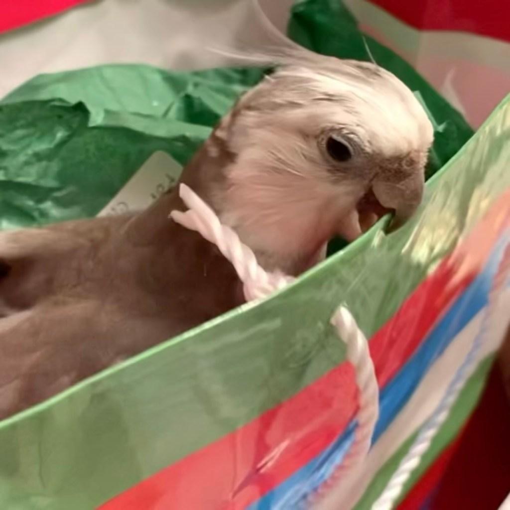 cockatiel nest present