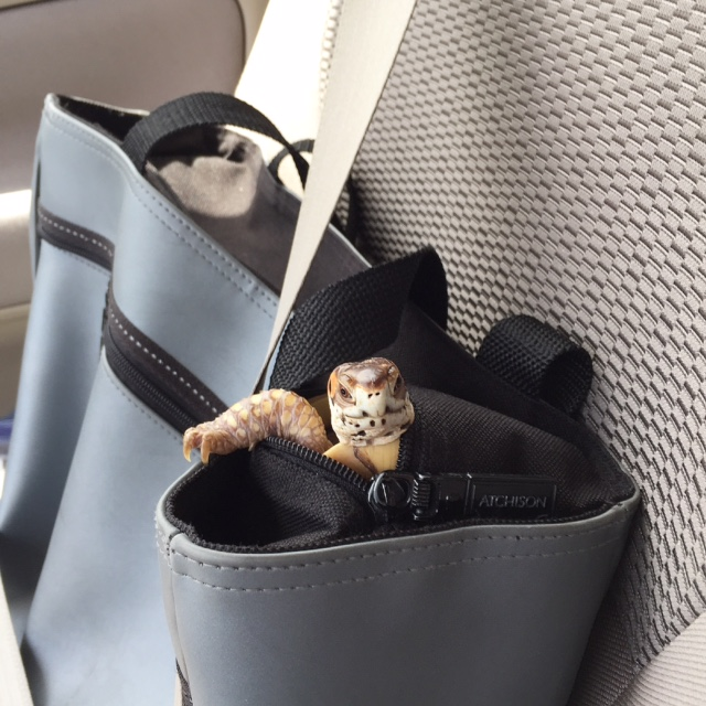 box turtle climbs bag