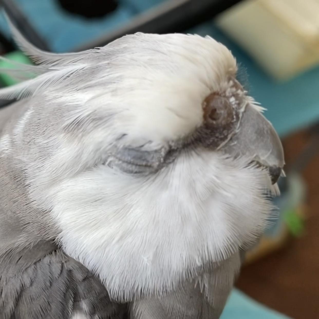 sleepy cockatiel