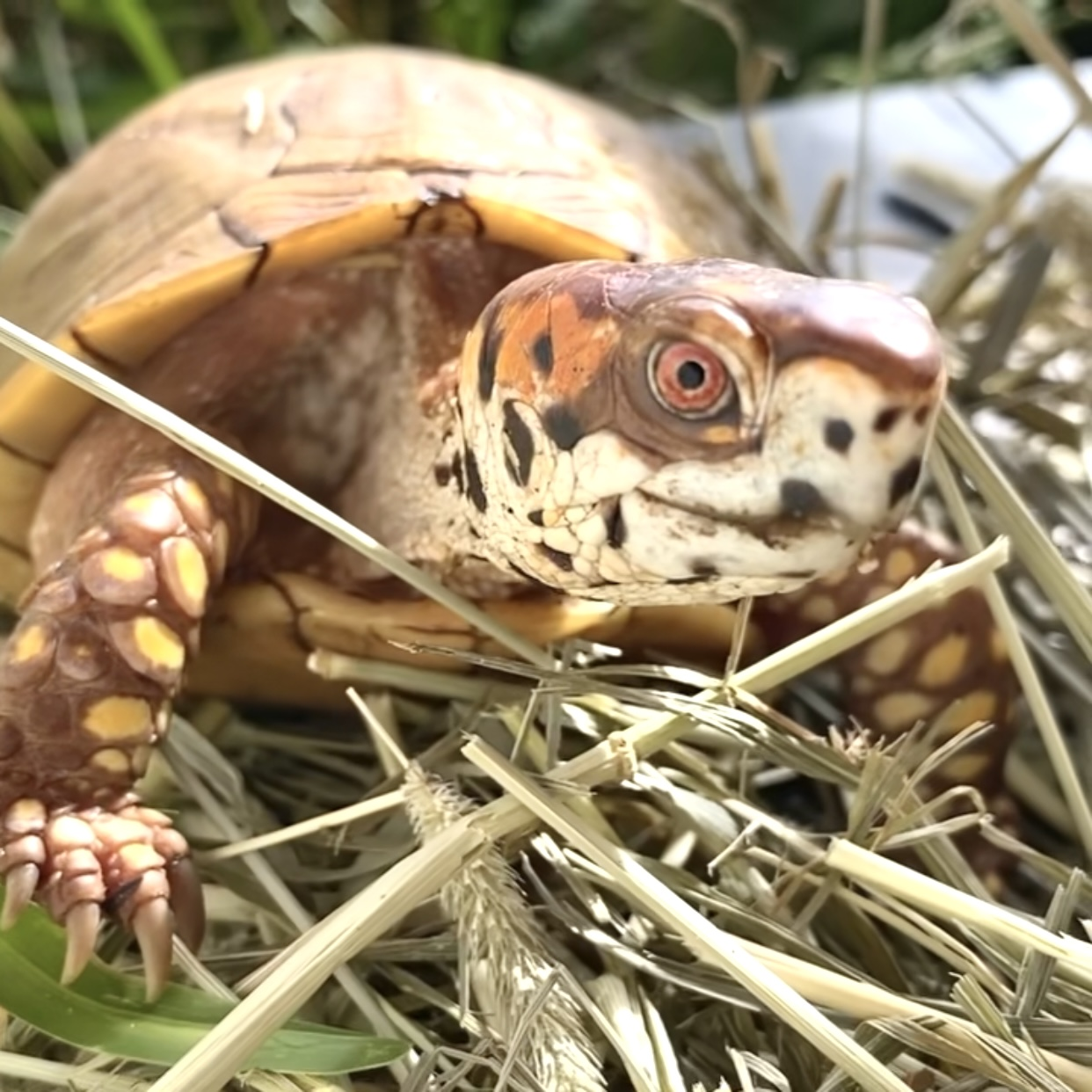 box turtle sits on hay