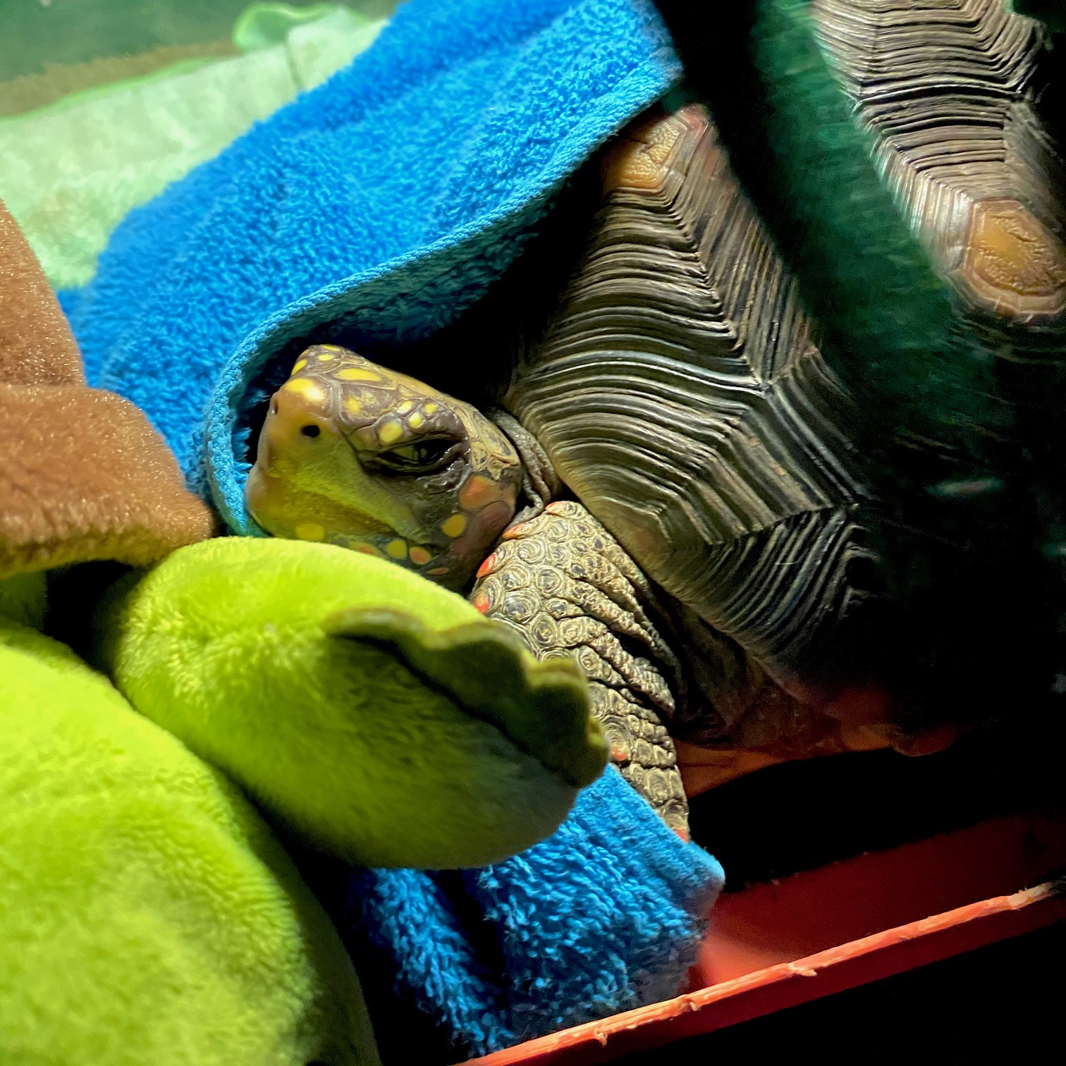 resting redfoot tortoise