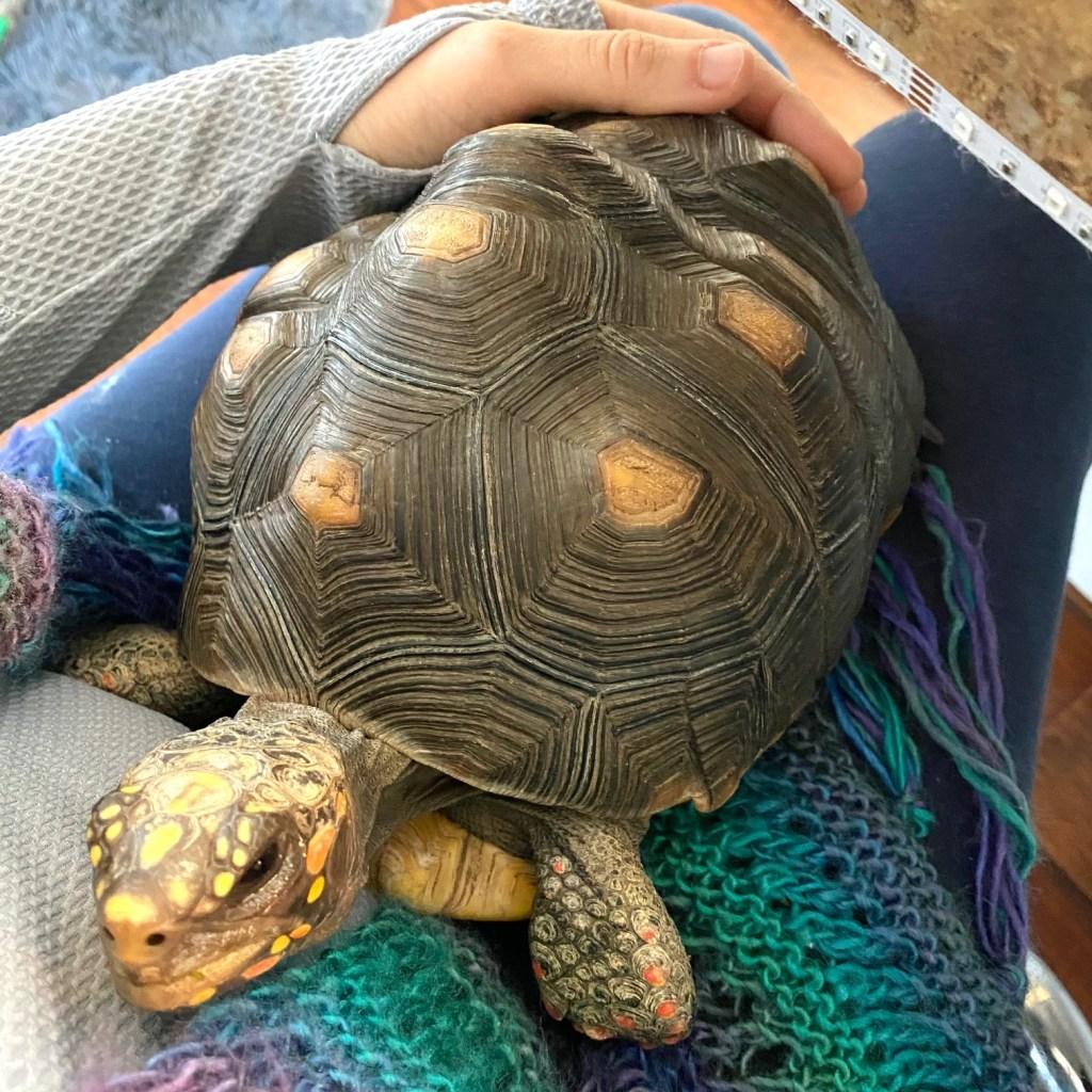 pet tortoise in lap