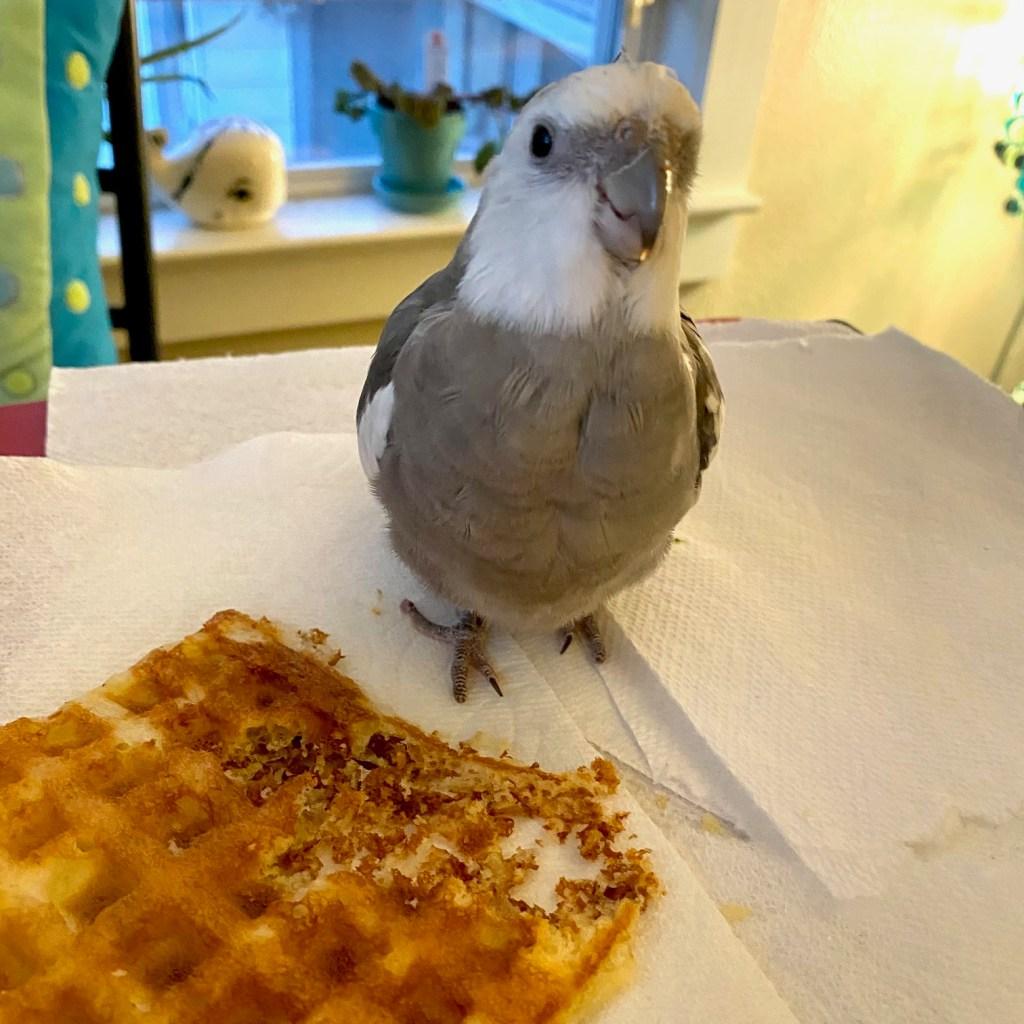 cockatiel waffle