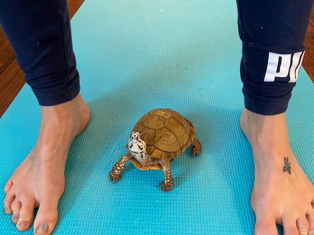 box turtle does yoga