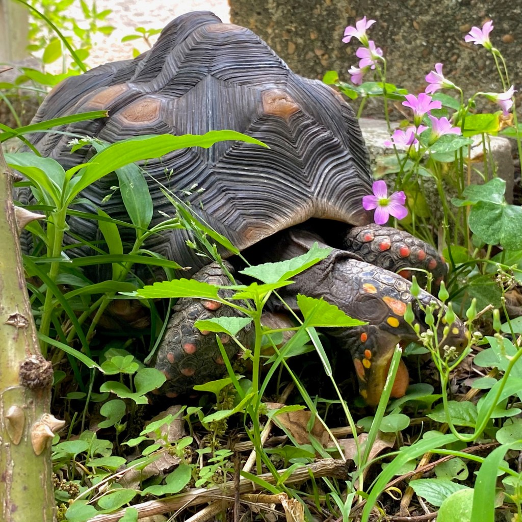 redfoot tortoise mowing the lawn