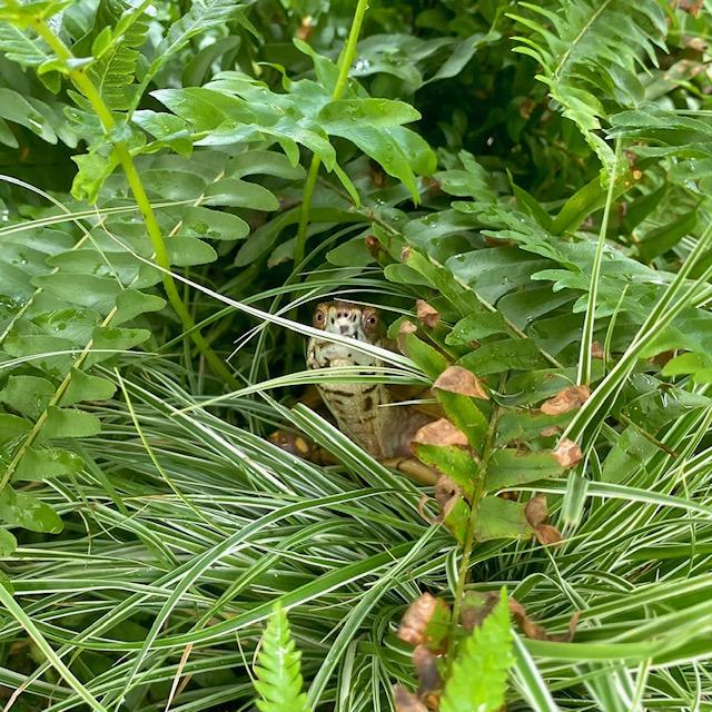 box turtle in ferns