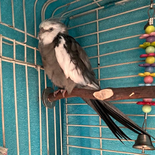 sleeping cockatiel in cage