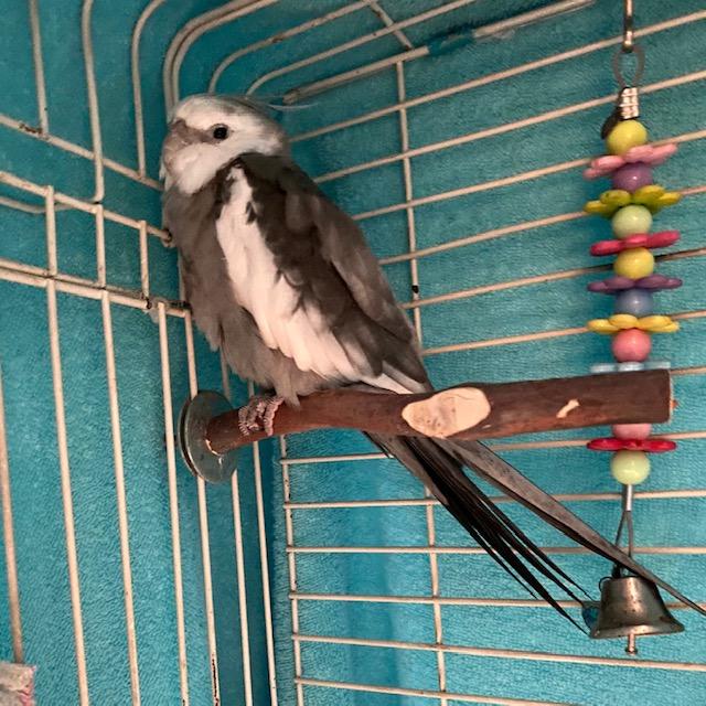 sleepy cockatiel in cage