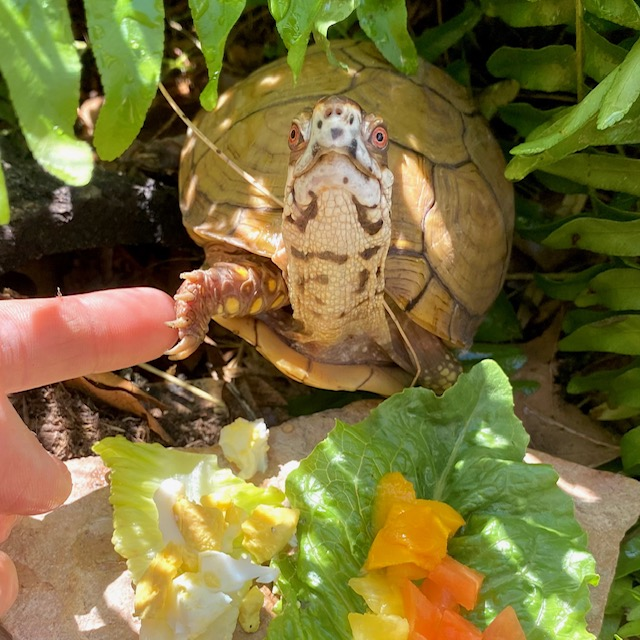 box turtle touches rescuer's finger