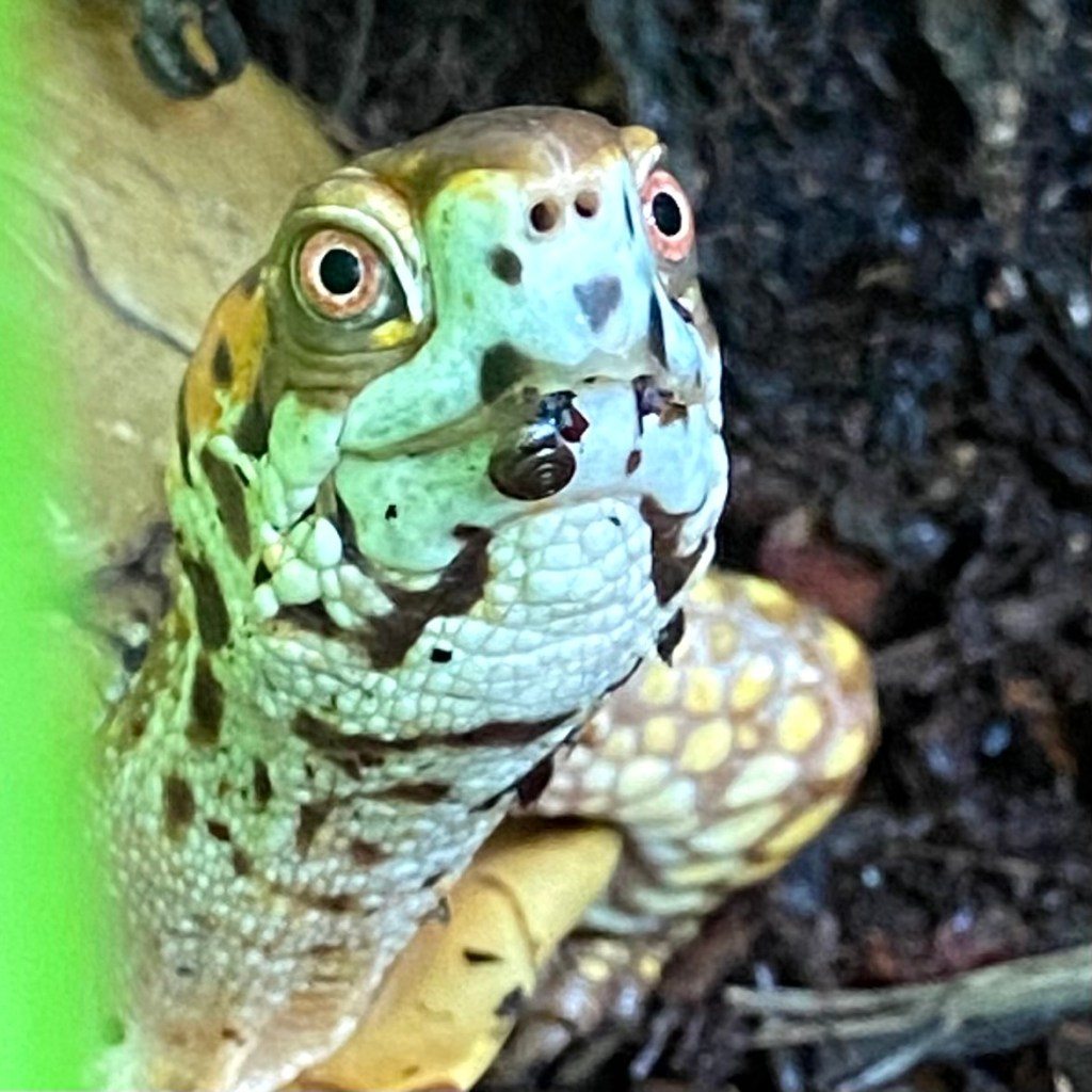 box turtle with garden snail