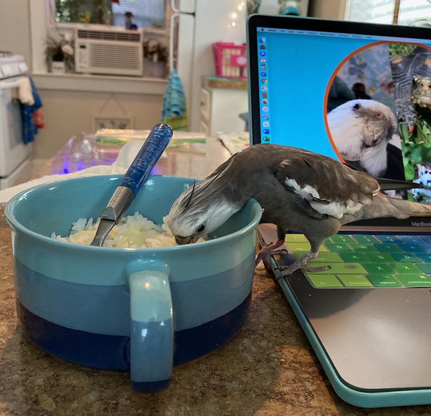 cockatiel stands on laptop