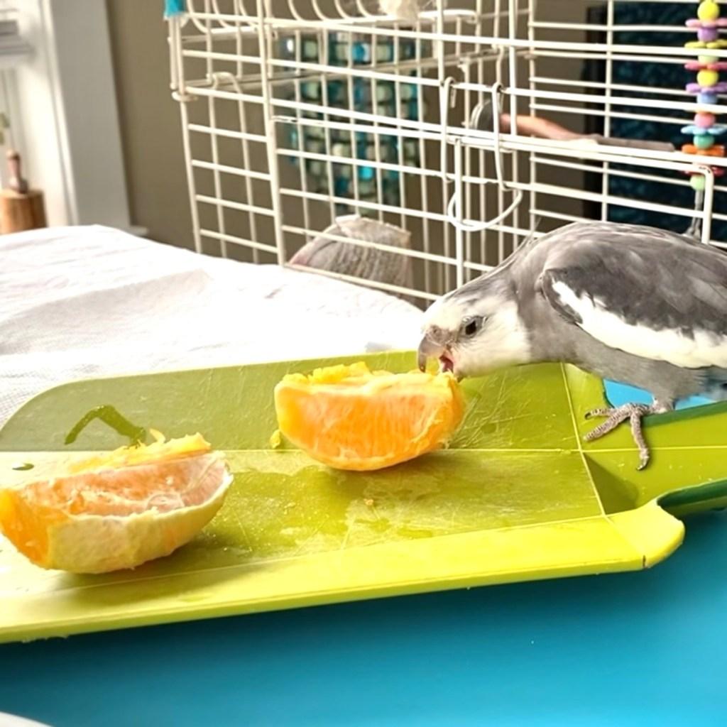 cockatiel eats orange