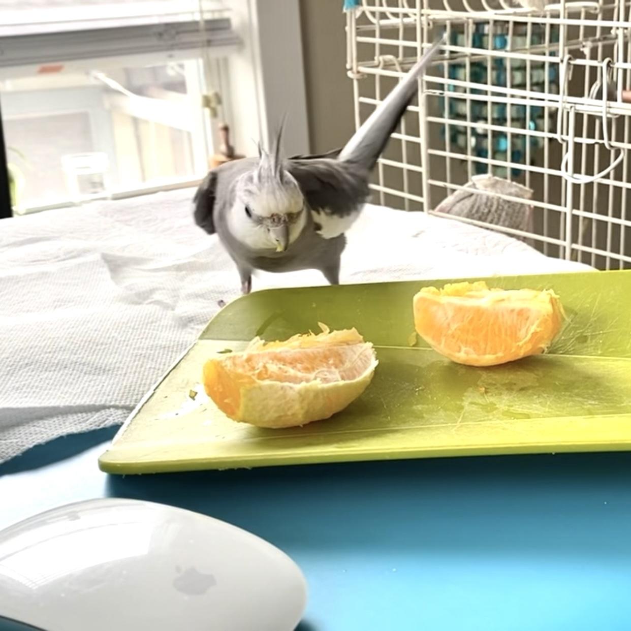 cockatiel with orange